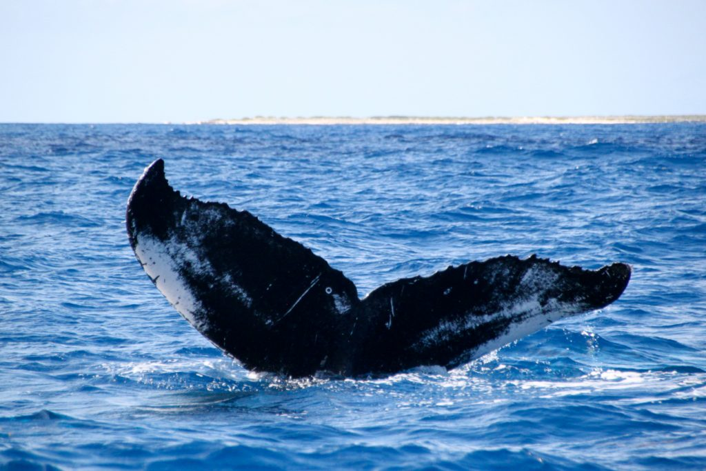 Whale Watching (Providenciales)